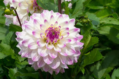 White and violet dahlia Stock Photos