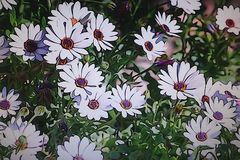 White and violet daisies in the garden. White and violet beautiful daisies in the garden Stock Image