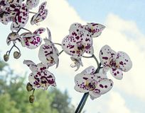 White with violet dots orchid close up branch flower, Phalaenopsis known as moth orchids.  stock photography