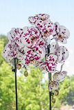 White with violet dots orchid close up branch flower, Phalaenopsis known as moth orchids.  royalty free stock image
