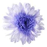 White-violet  flower chrysanthemum, garden flower, white  isolated background with clipping path.  Closeup. no shadows. blue centr Royalty Free Stock Photography