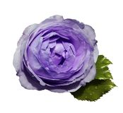 White-violet  flower  roses  on a white isolated background with clipping path  no shadows.  Rose with green leaves.  For design. Closeup.  Nature Stock Photography