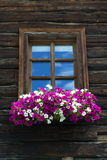 White and violet flowers covering window of wooden log cabin Royalty Free Stock Photography