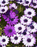 White and violet flowers Stock Photo