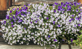 White and violet flowers. Outside a wooden window Stock Image