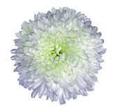 White-violet-green  chrysanthemum  flower.  White isolated background with clipping path.   Closeup  no shadows.  For design. Nature Stock Photo