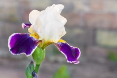 White and violet iris cultivar flower closeup. On blurred background royalty free stock image