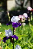 White-violet iris flower blooming on spring in the garden. Stock Photos