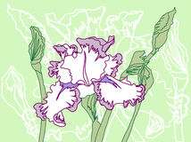White Violet Iris on the Green Background Stock Image