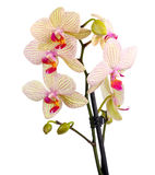 White and violet orchid Royalty Free Stock Images