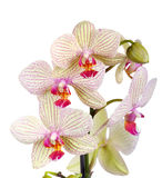 White and violet orchid Stock Images
