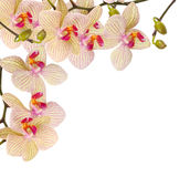 White and violet orchid Royalty Free Stock Photo