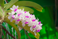 White and violet orchid flower in flower garden. The white and violet orchid flower in the flower garden Stock Photos