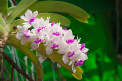 White and violet orchid flower. The white and violet orchid flower in the garden Stock Images