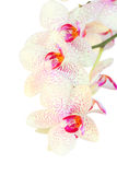 White with violet orchid flowers branch close up Royalty Free Stock Photo