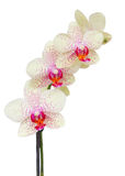 White with violet orchid flowers branch Stock Photo