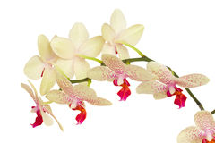 White with violet orchid flowers Stock Photography