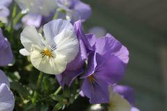 White and violet pansy abstract with copy space stock images