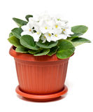 White violet in a pot Stock Image