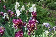White, violet and purple flowers of irises. White, violet and purple flowers of bearded irises royalty free stock image