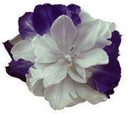 White-violet tulip flower  on white isolated background with clipping path.  no shadows. Closeup. Nature Stock Photo