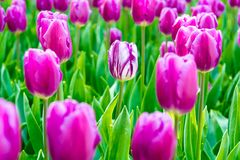 White and violet tulip. Stock Photo