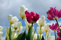 White and violet tulips. View from below of white and violet tulips Royalty Free Stock Images
