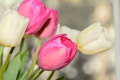 White and violet tulips flowers close up in front of the window. Royalty Free Stock Photos
