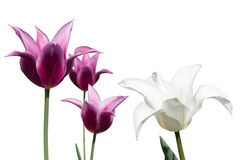 White and violet tulips on white Stock Photo