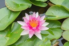 White violet water lily lotus flower. Stock Images