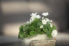 White violets growing in a container Royalty Free Stock Image