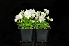 White Violets Stock Photography