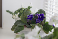 White violets in a pot. flowers in pots on windowsi Stock Image