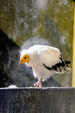 White vulture bird Stock Photography