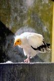 White vulture bird Stock Photography