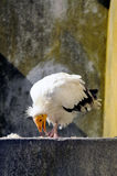 White vulture bird Royalty Free Stock Photography