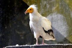 White vulture bird Royalty Free Stock Photos