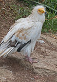 White Vulture Stock Photos