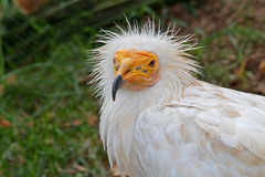 White Vulture Stock Images