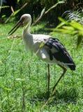 White Wading Bird Stock Photography