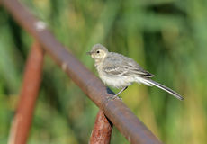 White Wagtail. The White Wagtail (Motacilla alba) is a small passerine bird in the wagtail family Motacillidae Royalty Free Stock Photography