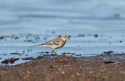 The White Wagtail. Looking for food Royalty Free Stock Photos