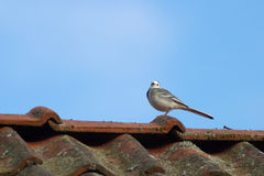 White wagtail. On the rooftop Stock Photos