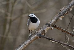 White wagtail. (motacilla alba) on birchen branch Royalty Free Stock Photo