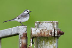 White Wagtail. Sitting on a fence against a green background Stock Images