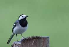 White Wagtail Stock Photography