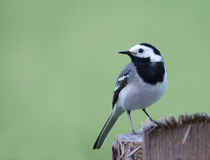 White Wagtail. Adult White Wagtail - June 2010, Sinca Noua, Brasov county, Romania Stock Photo