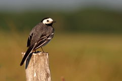 White Wagtail Stock Images