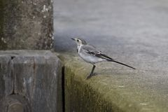 White Wagtail. Stands on a lock in Echten, Netherlands Royalty Free Stock Images