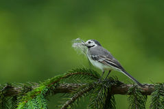 White wagtail Royalty Free Stock Photos